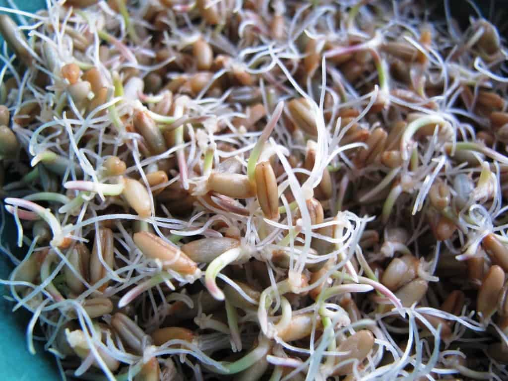 Sprouted rye grains