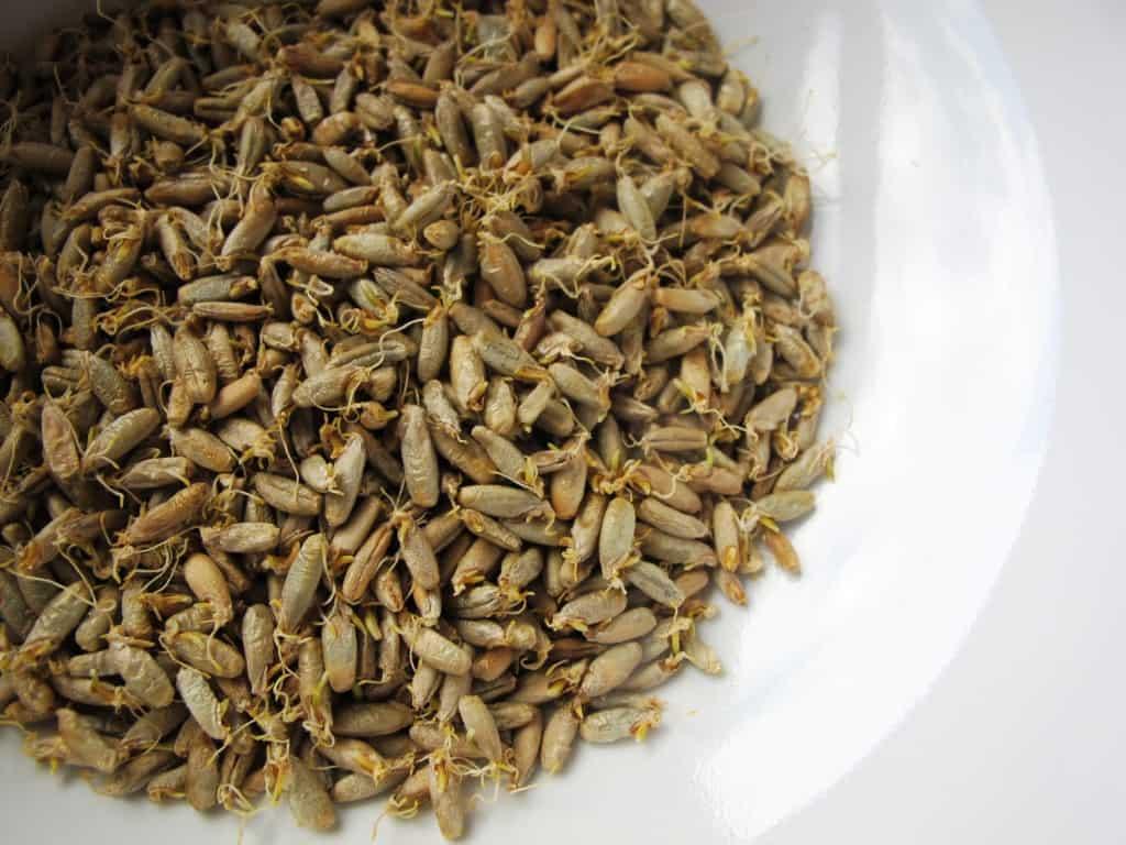 Malted rye grains