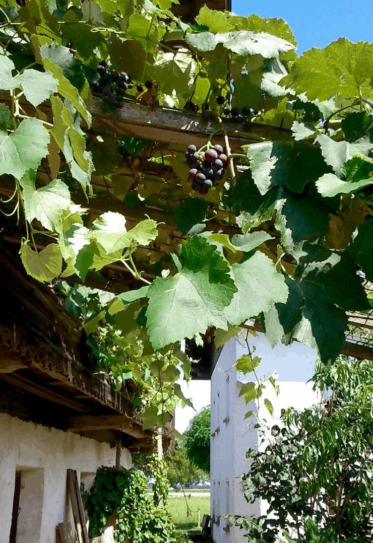 Uhudler grapes at the old farm house in Austria